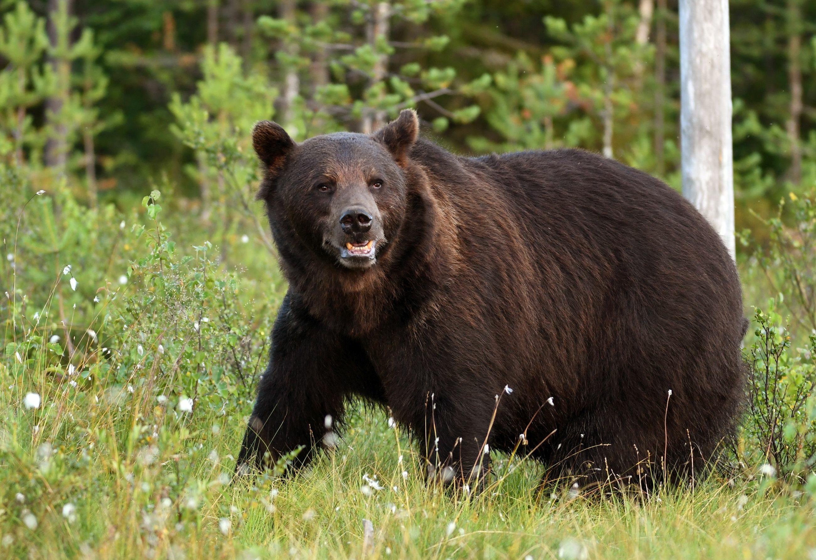 To tutaj żyje najwięcej niedźwiedzi w Polsce. Unikają ludzi